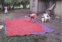 Drying of the Chillies